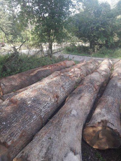 בולי עץ אלון אירופאי